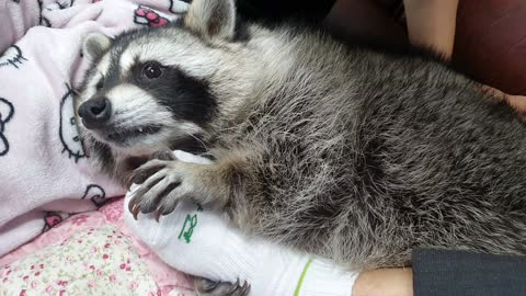 Raccoon plays pranks on his father's feet, biting him slightly.