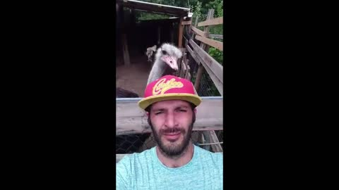 Giant Ostrich steals guys hat