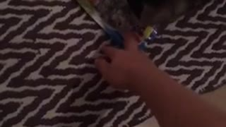 Cat playing with candy wrapper pulls up carpet - Video