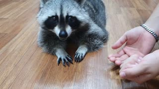 Smart Raccoon realized that his brother was playing pranks.
