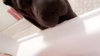 Brown dog hovering over owner taking a bath