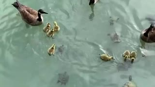 It's a feast for duck and turtle families living in this pond
