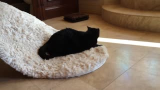 Sid the Cat goes for a carpet ride - Video