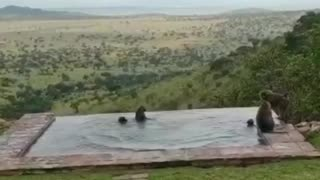 Wild monkeys jump into the water at lodge swimming pool