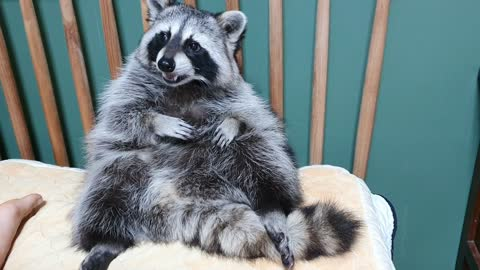 Raccoon is sitting on the bed, pulling out his teeth by hand.