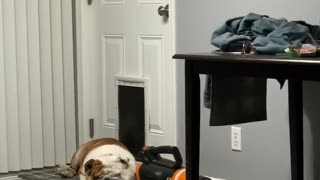 Bulldog naps in front of doggy door, refuses to let sisters in house