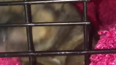 Guy Diamond(newborn foster puppy) uses his kennel as a binky