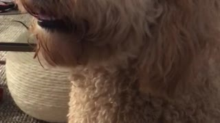 Tan dog listens to owner make farting noises  - Video