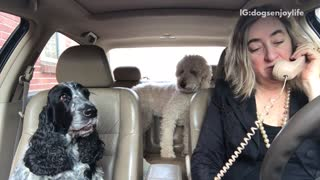 Blue heeler dog in car howls at woman with phone in car - Video