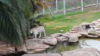 Beautiful White Tiger goes for a stroll - Video