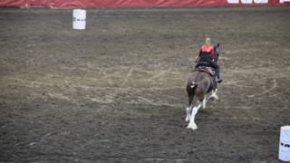Everyone Smiles When a Draft Horse Is A Part Of A Barrel Racing - Video