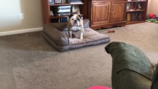 Bulldog Is Afraid of New Ball  - Video