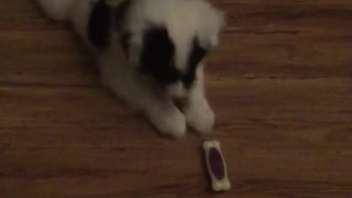 White dog playing with toy on ground - Video