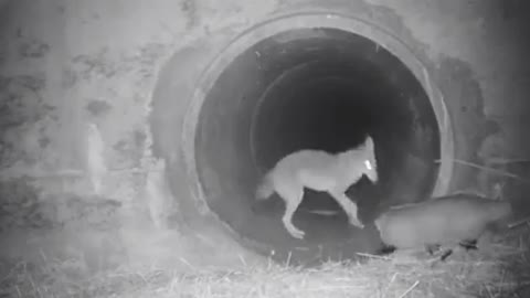 Coyote and badger travel together under California highway