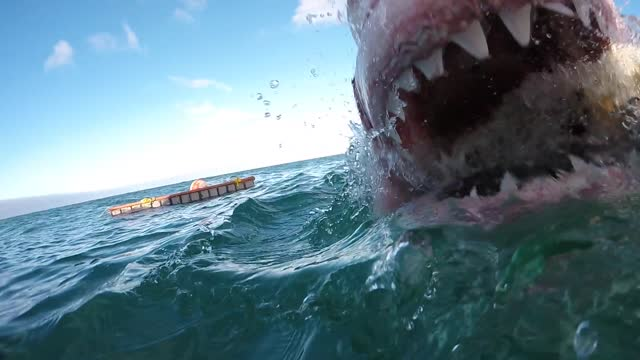 Brave Filmer Takes An Up-Close Footage Of An Attacking Great White Shark - Video