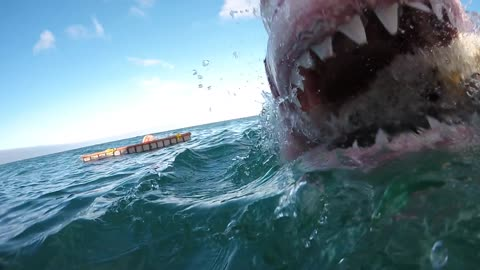 Brave Filmer Takes An Up-Close Footage Of An Attacking Great White Shark
