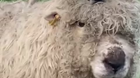 Dog rides on top of sheep