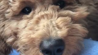 Brown dog rests head on blue owner's arm - Video