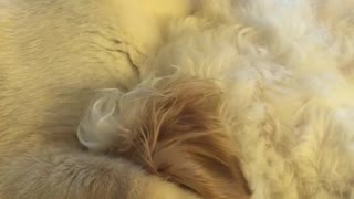 White cat licking white dog on bed - Video