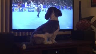 Brown and white dog watches dog show right next to tv