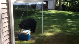 Birthday Cake Bear Thief - Video