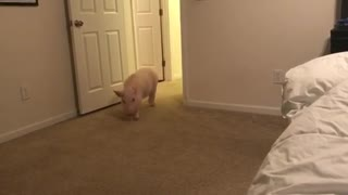 Pickle the Mini Pig sprints around the house - Video