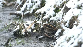 Dancing Jack Snipe - Video