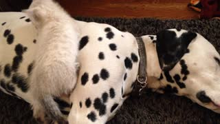 Cute kitten snuggles with caring Dalmatians
