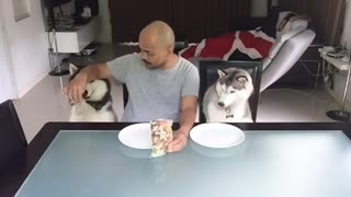 Happy huskies enjoy snack time with owner - Video