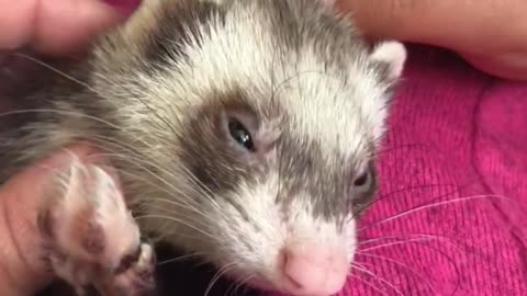 Ferret enjoys a good scratch