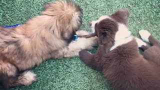 Two Adorable Fluffy Puppies Share A Stick