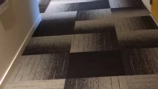 Dog rolls around hallway carpet