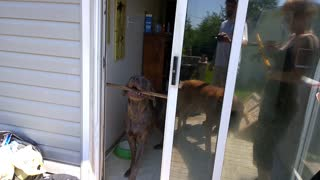 Hilarious puppy can't get his stick through the door
