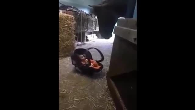 Watch What Happens When They Sit Baby Carrier Down In Stable And 'Babysitter' Finds It