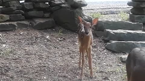 Young Fawn Joins The Party