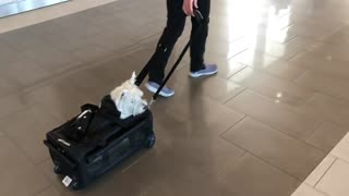 Westie travels in her own personal suitcase through airport