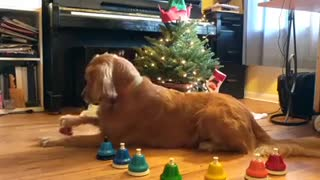 Golden Retriever rings bells in tune to Christmas classic