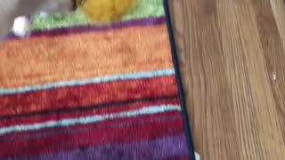White dog rainbow carpet chews squeaky donald trump toy - Video