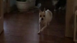 Slowmo white chihuahua runs across wood floor - Video