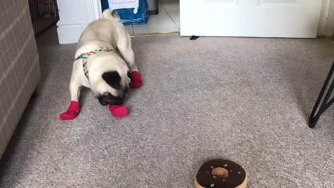 Pug puppy walks in booties for the first time
