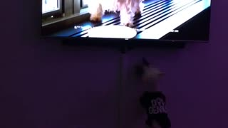 Westie problems dog jumps at tv - Video