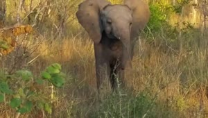 Baby elephant adorably attempts to intimidate tourists - Video