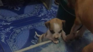 Puppy Helps Puppy - Video