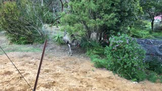 Puppy and Emu Playing Chasey - Video