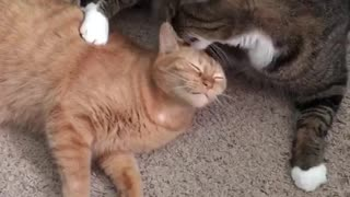 Black cat licks orange cat - Video