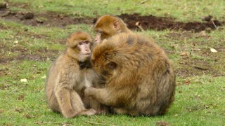 Monkey while clean her baby