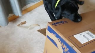 Black dog tries to jump on couch with cardboard box and falls - Video