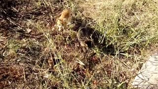 Two Kittens first time walking away from their mother. Which one is the bravest?  - Video