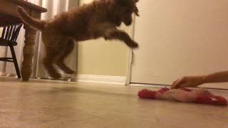 Brown dog jumps and bites pink toy in slow motion - Video