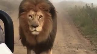 Look at this lion's walking like the king in the forest